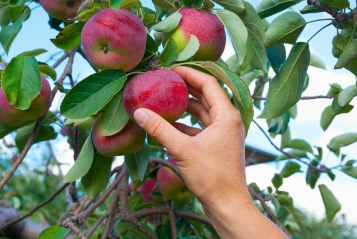 Uma mão escolhendo uma maçã de uma árvore.