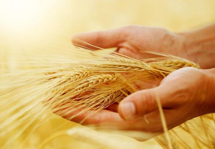 A mão de uma pessoa segurando espigas de trigo.